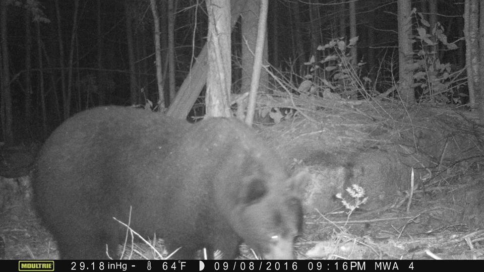 bear2016-3