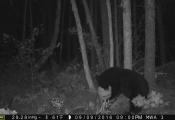 bear2016-1